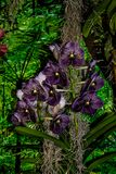 Orquídea oscura hermosa - detalle de una flor de la planta de la casa fotos de archivo libres de regalías