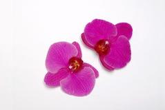 Orquídea púrpura 1 Imagen de archivo