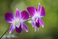 Orquídea púrpura Foto de archivo libre de regalías