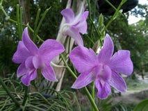 Orquídea púrpura Fotografía de archivo libre de regalías