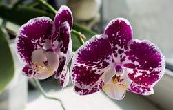 Orquídea púrpura brillante con el punto blanco Fotografía de archivo