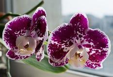 Orquídea púrpura brillante con el punto blanco Imagen de archivo