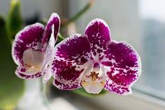 Orquídea púrpura brillante con el punto blanco Foto de archivo libre de regalías