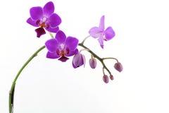 Orquídea púrpura con el modelo blanco Imagen de archivo