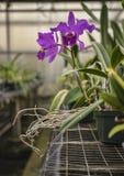 Orquídea púrpura del cattleya Foto de archivo