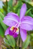 Orquídea púrpura del cattleya imagenes de archivo