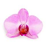 Orquídea púrpura del phalaenopsis Imagen de archivo