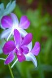 Orquídea púrpura en jardines botánicos reales, kandy, Sir Lanka Fotos de archivo libres de regalías