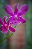 Orquídea púrpura en jardines botánicos reales, kandy, Sir Lanka Foto de archivo libre de regalías