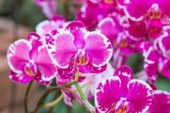 Orquídea púrpura en la inflorescencia en el jardín Fotos de archivo