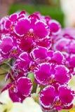 Orquídea púrpura en la inflorescencia en el jardín Fotografía de archivo libre de regalías