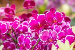 Orquídea púrpura en la inflorescencia en el jardín Foto de archivo
