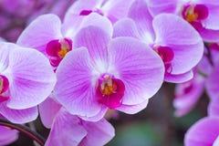 Orquídea púrpura en la inflorescencia en el jardín Imagen de archivo libre de regalías