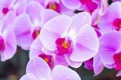 Orquídea púrpura en la inflorescencia en el jardín Fotografía de archivo