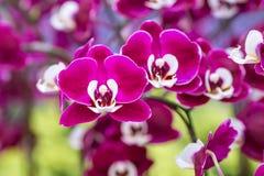 Orquídea púrpura en la inflorescencia en el jardín Foto de archivo libre de regalías