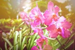 Orquídea púrpura en salida del sol temprana Fotografía de archivo