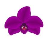 Orquídea púrpura en un ejemplo blanco del fondo Fotografía de archivo