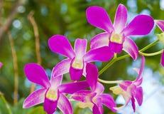 Orquídea púrpura hermosa Fotografía de archivo