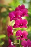 Orquídea púrpura hermosa Imagen de archivo