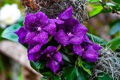 Orquídea púrpura hermosa - detalle de una flor de la planta de la casa imágenes de archivo libres de regalías