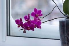 Orquídea púrpura hermosa floreciente en la ventana cubierta con nieve Foto de archivo libre de regalías