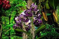 Orquídea púrpura oscura hermosa - detalle de una flor de la planta de la casa fotos de archivo libres de regalías