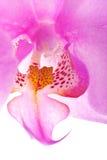 Orquídea para arriba 5 cercanos Fotografía de archivo libre de regalías