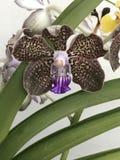 Orquídea perfumada foto de stock royalty free