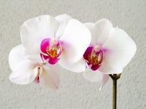 Orquídea - Phalaenopsis fotografia de stock royalty free