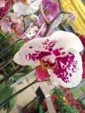 Orquídea Phalaeonopsis royalty free stock image
