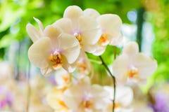 Orquídea poner crema blanca Imágenes de archivo libres de regalías