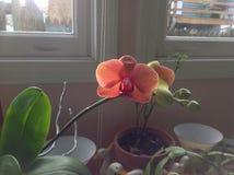Orquídea preciosa fotografía de archivo libre de regalías