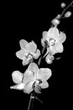 Orquídea preto e branco imagens de stock