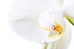 Orquídea pura. fotografia de stock royalty free