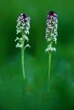 Orquídea quemada, ustulata de Orchis, orquídea salvaje terrestre europea floreciente, hábitat de la naturaleza, detalle de la flo Foto de archivo libre de regalías