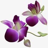 Orquídea realística do vetor Fotos de Stock