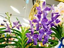 Orquídea real no paraíso da orquídea de Banguecoque do modelo Imagens de Stock