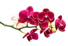 Orquídea roja Imágenes de archivo libres de regalías