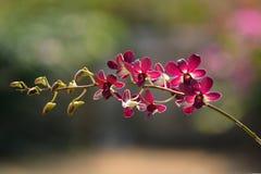 Orquídea roja Fotografía de archivo libre de regalías