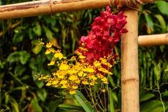 Orquídea roja, amarilla hermosa - detalle de una flor de la planta de la casa fotos de archivo libres de regalías