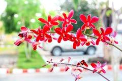 Orquídea roja de Aranda Imagenes de archivo