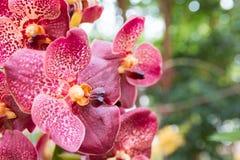 Orquídea roja de Vanda fotos de archivo