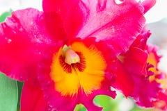 Orquídea roja del cattleya foto de archivo