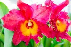 Orquídea roja del cattleya imagen de archivo libre de regalías