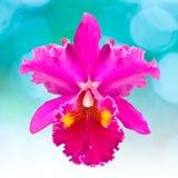 Orquídea roja del cattleya, flores Imagen de archivo libre de regalías
