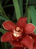 Orquídea roja del Cymbidium Fotografía de archivo libre de regalías