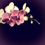 Orquídea rojo oscuro Foto de archivo