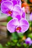 Orquídea rosada imagenes de archivo