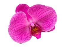 Orquídea rosada Fotos de archivo libres de regalías