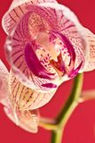 Orquídea rosada Fotos de archivo